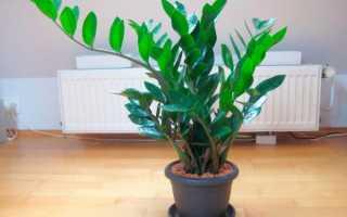 Как рассаживать долларовое дерево в домашних условиях