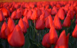 Дарвиновы гибриды тюльпаны сорта