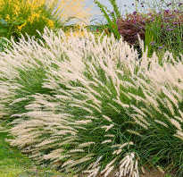 Многолетние декоративные травы для сада