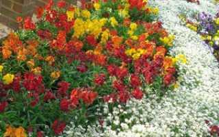 Популярное растение в цветнике