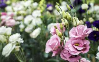 Цветы эустома какие