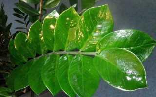 Липкие листья на комнатных цветах как избавиться
