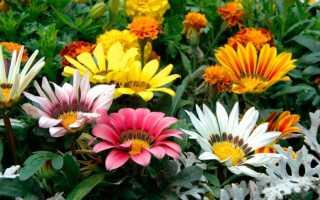 Цветы гацания – описание