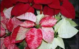 Рождественская звезда цветок размножение черенками