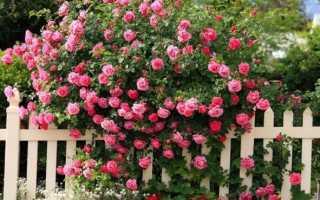 Осенняя пересадка роз