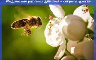 Цветы медоносы для пчел фото