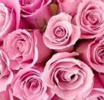 Алые розы краткое описание
