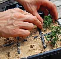 Как вырастить можжевельник из черенка