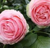 Краткое описание морщинистой розы