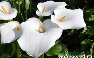 Цветы каллы – особенности