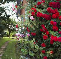 Зимостойкие сорта плетистых роз названия описания и фото