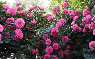 Английские парковые розы сорта и фото морозоустойчивые