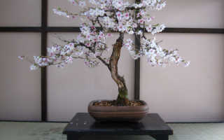 Бонсай японское дерево семена