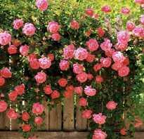 Английская роза уход и выращивание