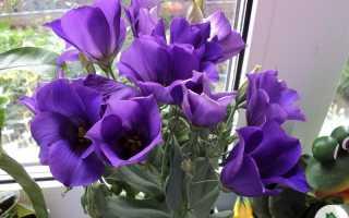 Цветок эустома выращивание и уход в домашних условиях