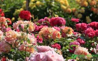Описание и лечение болезней роз
