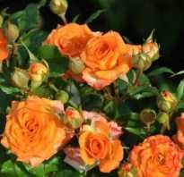 Миниатюрные розы посадка и уход