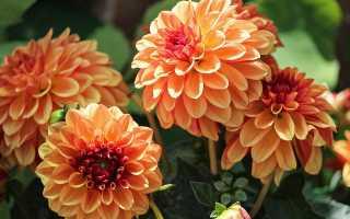 Цветы георгины хранение фото