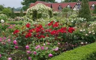 Как вырастить красивые розы на даче