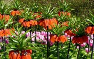 Цветы рябчики посадка и уход