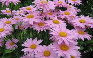 Ромашка розовая многолетняя