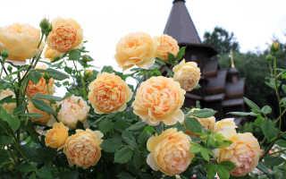 Описание розы голден