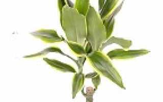 Драцена голден коаст