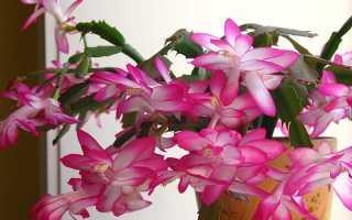 Цветок декабрист размножение