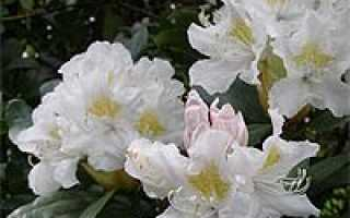 Рододендрон дегрона rhododendron degronianum