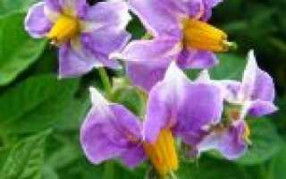 Лечение цветками картофеля