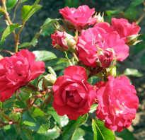 Классификация розы обыкновенной