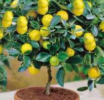 Лимон растение в домашних условиях