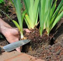 Особенности выращивания ирисов посадка и уход