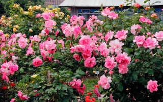 Оразмножении роз черенками