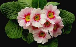Цветы примула фото