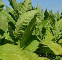 Табак растение выращивание