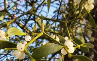 Растение омела белая его свойства польза