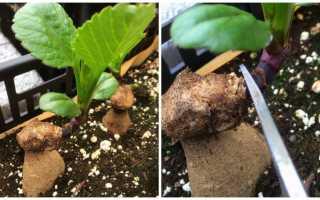 Размножение георгинов клубнями