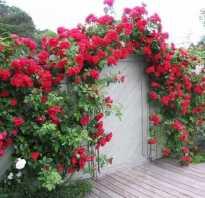 Вьющаяся роза посадка и уход, фото