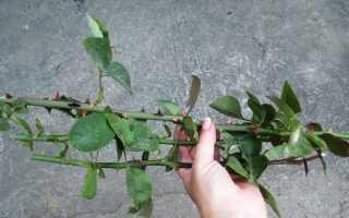 Как сделать черенки роз для посадки