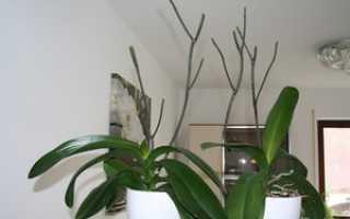 Как правильно обрезать орхидею после цветения