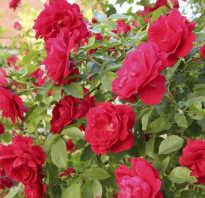 Плетистая роза посадка и уход опора фото
