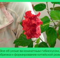 Когда обрезать китайскую комнатную розу