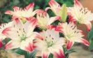 Сорта и гибриды лилий