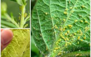 Причины и признаки поражения комнатных растений тлей