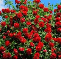 Как собрать семена розы