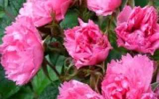 Лучшие сорта розы для сибири