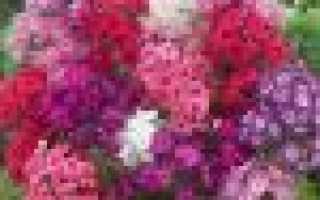Флоксы многолетние посадка и уход фото сорта