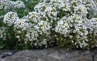 Алиссум особенности растения