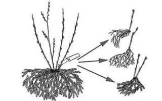 Размножение ежевики черенками осенью